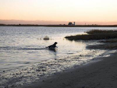 Black Labrador Running on Beach in Cape Cod, United States