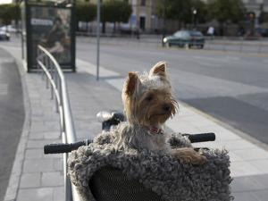 Small Dog in Bicycle Basket by Keenpress