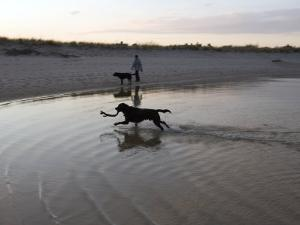 Twp Black Labradors Running on Beach in Cape Cod, United States by Keenpress