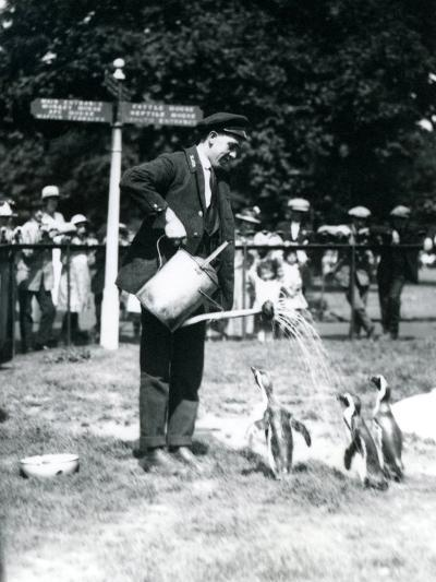 Keeper, Ernie Sceales, Gives Three Penguins a Shower from a Watering Can, London Zoo, 1919-Frederick William Bond-Photographic Print