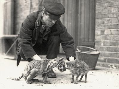 Keeper, H. Warwick, with a Tiger Cub and a Peccary, Taken at Zsl London Zoo, May 1914-Frederick William Bond-Photographic Print
