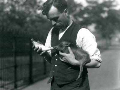 Keeper Harry Warwick Bottle Feeds a Baby Warthog at London Zoo, in August 1922-Frederick William Bond-Photographic Print