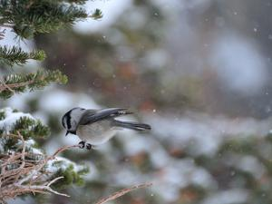 A Black-Capped Chickadee, Poecile Atricapillus, in Rocky Mountain National Park by Keith Ladzinski
