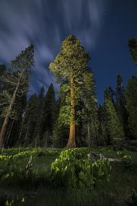 A Giant Sequoia Tree in the Old Growth Forest of California's Sequoia National Park by Keith Ladzinski