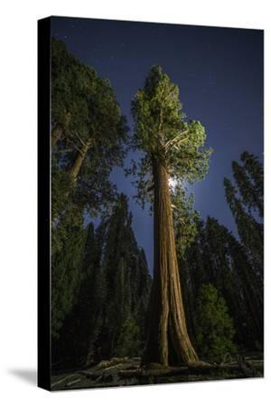 A Sequoia Tree in the Old Growth Forest of California's Sequoia National Park