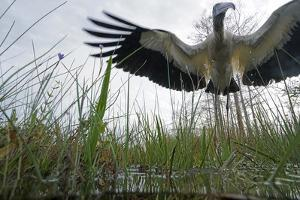 A Wood Stork Hunting in Habitat Effected by Rising Sea Levels by Keith Ladzinski