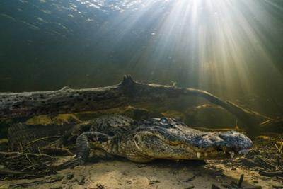 An American Alligator Waits for Prey at the Bottom of a Cypress Swamp by Keith Ladzinski