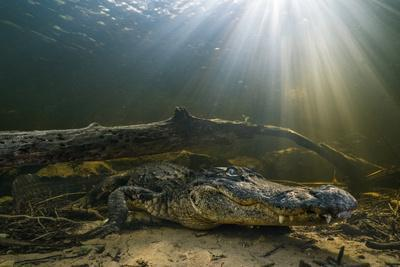 An American Alligator Waits for Prey at the Bottom of a Cypress Swamp
