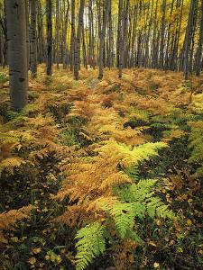 Autumn Ferns in Forest, Kebler Pass, Colorado by Keith Ladzinski