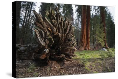 Drought Effected Giant Sequoia Trees in Sequoia National Park