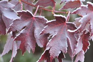 Frost-Covered Maple Leaves by Keith Ladzinski