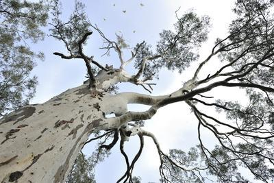 Looking Up into the Top of a Eucalyptus Tree