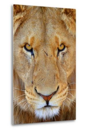 Portrait of an African Male Lion with Scars, in South Africa