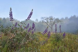Silvery Lupines, Near the Pacific Coast Highway by Keith Ladzinski