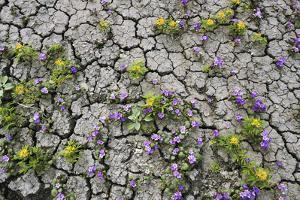 Wildflowers Growing in Cracked Soil, Capitol Reef National Park, Utah by Keith Ladzinski