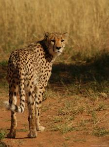 Cheetah, Nambia Africa by Keith Levit