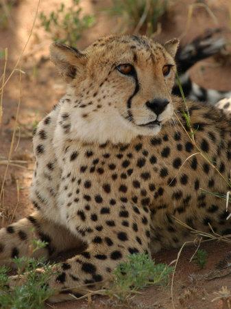 Cheetah, Nambia Africa