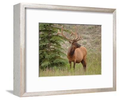 Elk Standing by Tree, Jasper National Park, Canada