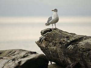 Seagull, Vancouver, British Columbia, Canada by Keith Levit