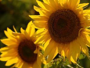 Sunflowers in Prairie Fields by Keith Levit