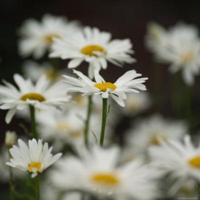 White Daisy Flowers by Keith Levit