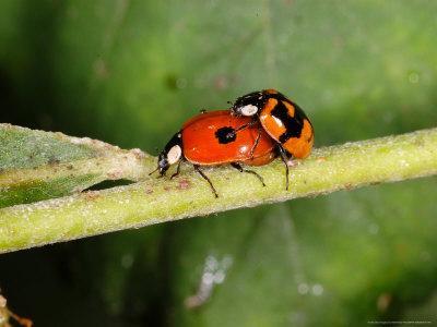 2-Spot Ladybirds, Adults Mating, Kent, UK