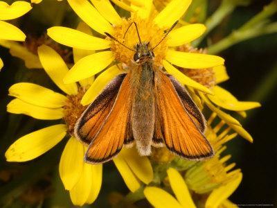 Essex Skipper Butterfly, Adult Feeding from Flower, UK