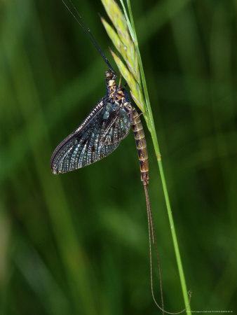 Mayfly, Resting, Didcot, UK