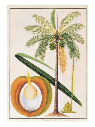Kelapa or Coconut Palm-Porter Design-Premium Giclee Print