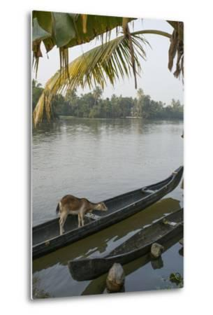 A Goat Waits on a Canoe Until its Owner Returns