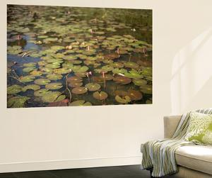 Lily Pads Growing on the Surface of a Pond by Kelley Miller