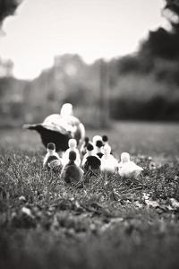 Ducklings by Kelly Poynter