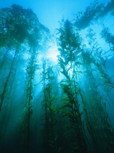 Kelp Forest Underwater, Tasmania, Australia-Joe Stancampiano-Photographic Print