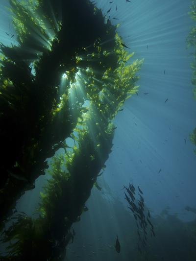 Kelp Forest with School of Fish-Stocktrek Images-Photographic Print