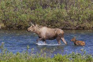 Alaskan Cow Moose with Young Calf by Ken Archer