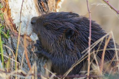 American Beaver chewing down tree by Ken Archer
