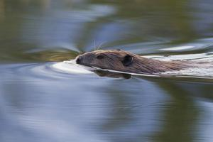 American Beaver Swimming in Pond by Ken Archer