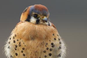 American Kestrel Hawk by Ken Archer