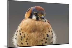American Kestrel Hawk by Ken Archer