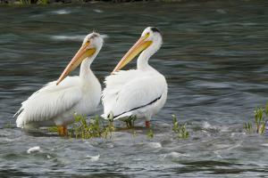 American White Pelicans by Ken Archer