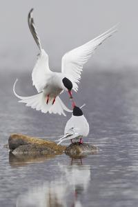 Arctic Terns, Courtship by Ken Archer