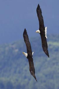 Bald Eagle Pair, Courtship Flight by Ken Archer