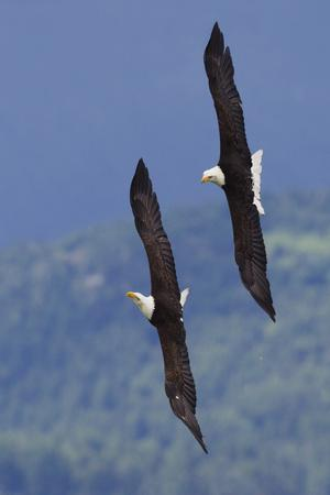 Bald Eagle Pair, Courtship Flight