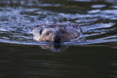 Beaver Swimming in Pond by Ken Archer