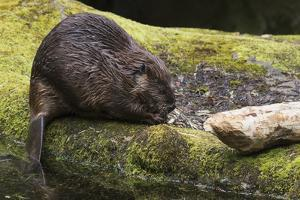 Beaver with cut log by Ken Archer