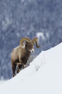 Bighorn Sheep Ram on Winter Range by Ken Archer
