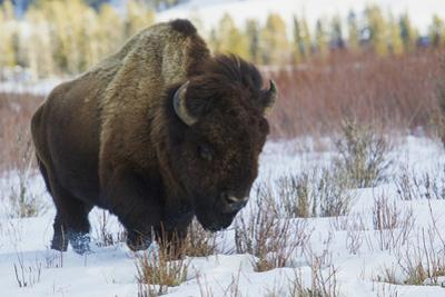 Bison Bull. Late Winter by Ken Archer