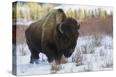 Bison Bull. Late Winter
