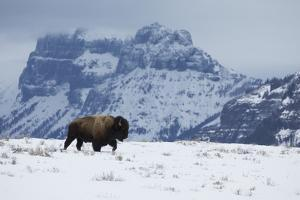 Bison bull on the move by Ken Archer
