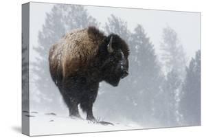 Bison Bull, Winter Storm by Ken Archer